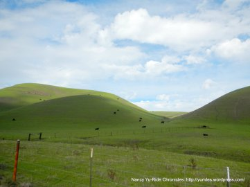 collier canyon grazing cattle