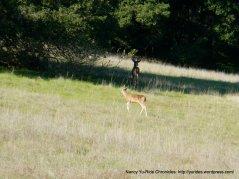 coyote lake deer