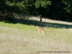 coyote lake deer