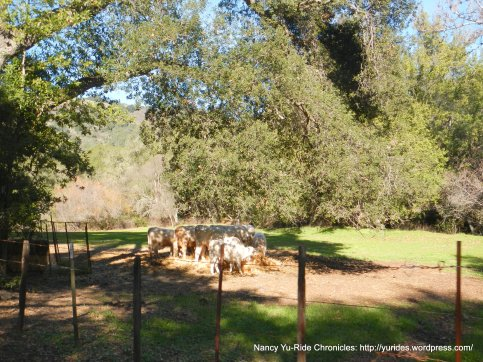 canada rd grazing cattle
