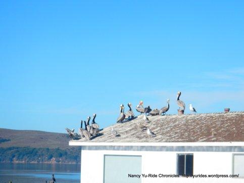 tomales bay pelicans