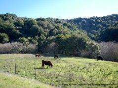 grazing cattle
