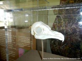 hummingbird skull