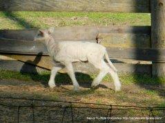 young lambs