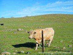 lone tree rd bull