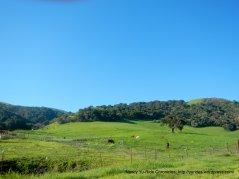 salinas rd grazing cattle
