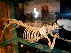 elkhorn slough visitor center-otter skeleton