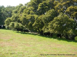 old briones rd trail-grazing cattle