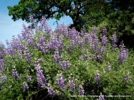 old briones trail lupines