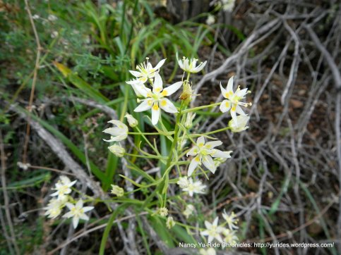 fremont star lilies