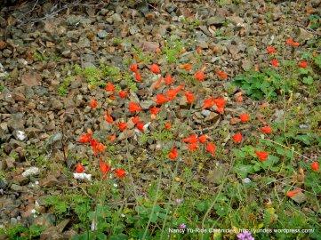 scarlet larkspurs
