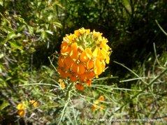 western wallflowers