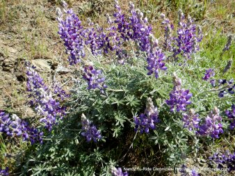 silver lupines