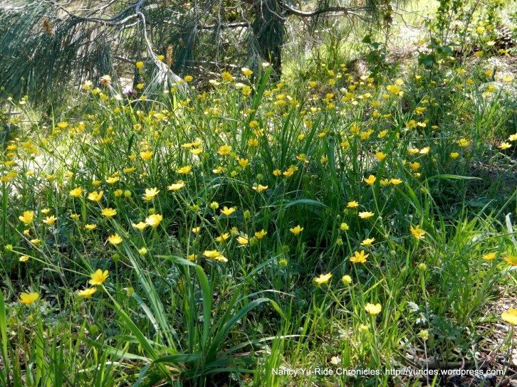 woolly sunflowers