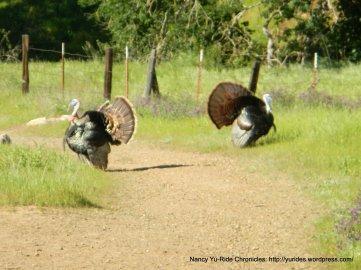 male gobblers