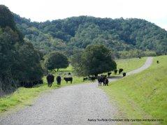 open cattle grazing area