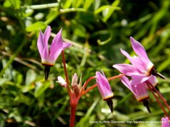 falling star flower