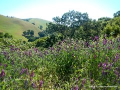 purple veitches