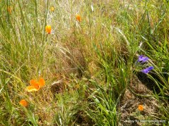poppies-ithuriel'sspear