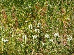bellardia-rose clover