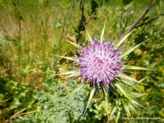 pink thistle