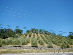 dry creek valley olive grove