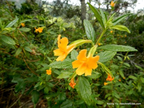 bush monkey flowers