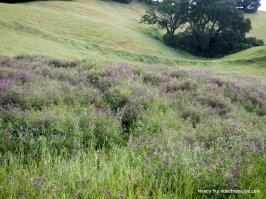 purple vetches