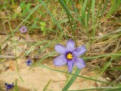 blue-eyes grass