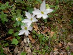 woodland stars