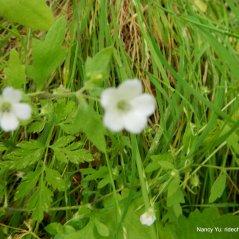 white nemophilias