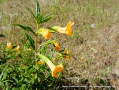 bush monkey flower