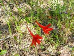 scarlet larkspur