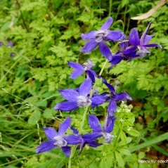 royal larkspur