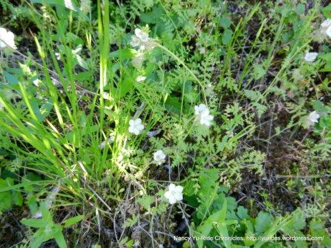 white nemophilia