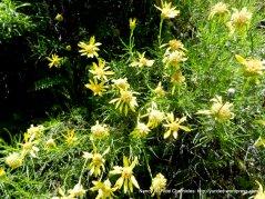 goldenbush