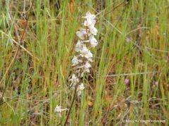 white larkspur