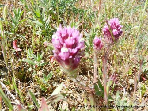 purple owl's clover