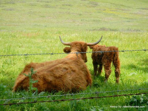 highland cow/calf