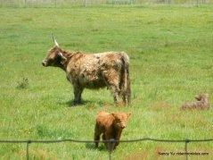highland cow/calf