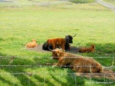 highland cows/calves
