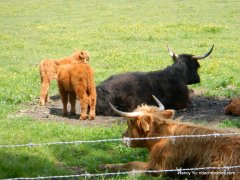 highland cows/calves