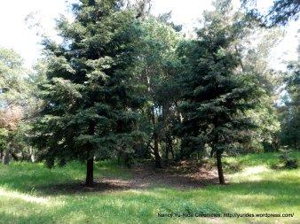laurel loop trail-redwoods