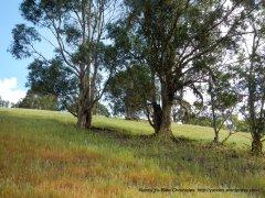eucalyptus stands
