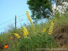 yellow lupines