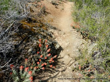 eagle peak trail-indian paintbrushes