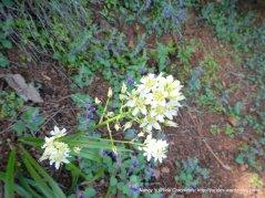 fremont star lily