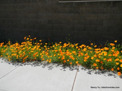 alhambra ave poppies