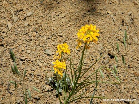 western wallflower