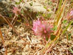 rose clover